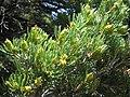 Pinus edulis pollencones1.jpg