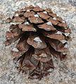 Pinus leiophylla subsp chihuahuana cone.jpg
