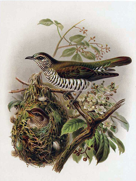 https://upload.wikimedia.org/wikipedia/commons/thumb/3/3a/Pipiwharauroa.jpg/449px-Pipiwharauroa.jpg