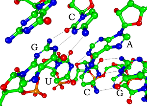 Structure showing the basepairing of 5'-GUC-3'...