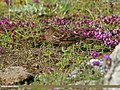 Plain Mountain Finch (Leucosticte nemoricola) (20173791860).jpg