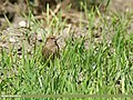 Plain Mountain Finch (Leucosticte nemoricola) (27138518234).jpg