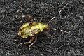 Plant Bug (Miridae) - Kitchener, Ontario 03.jpg