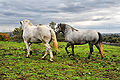 Pleasant Hill Percherons 3.jpg