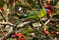 Plum-headed Parakeet (Psittacula cyanocephala) feeding on Ficus benghalensis W IMG 4336.jpg