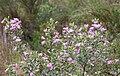 Podalyria calyptrata - flowers - Cape Town 1.jpg