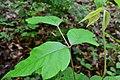 Poison ivy-20141524-043.jpg