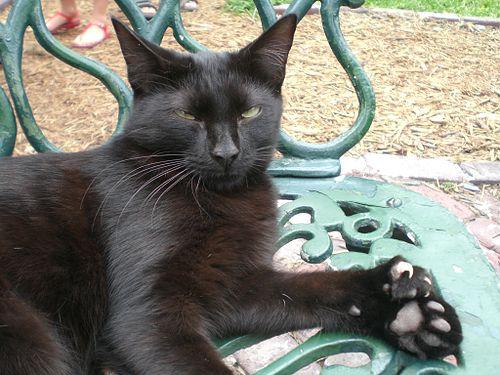 キーウェストのヘミングウェイの家の多指症のネコ。この黒猫は四肢合わせて26本の指がある。Wikipediaより