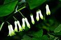Polygonatum multiflorum - flowers.jpg