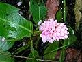 Polygonum amphibium 3 (5097359453).jpg