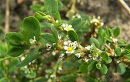Polygonum aviculare flower kz