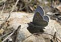 Polyommatus myrrha - Çokgözlü Büyük Turanmavisi 05.jpg