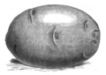 Pomme de terre flocon de neige Vilmorin-Andrieux 1883.png