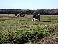 Ponies grazing waste land - geograph.org.uk - 331010.jpg