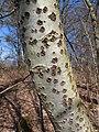 Populus alba bark2.jpg