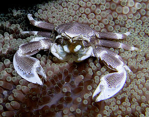Squat lobster - Porcelain crabs, like Neopetrolisthes maculatus, are closely related to squat lobsters.