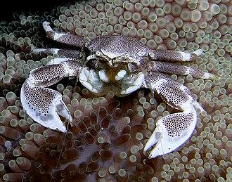 Porcelain crab - Neopetrolisthes maculatus