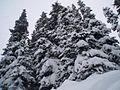 Powder Trees at Sunshine Village.jpg
