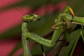 Praying Mantis Sexual Cannibalism European-27.jpg