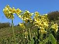 Primula elatior (18106076770).jpg