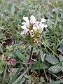 Prunella laciniata sl18.jpg