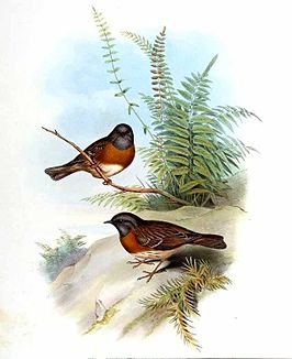 Prunella rubeculoides by John Gould.jpg