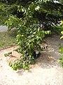 Prunus ilicifolia.JPG