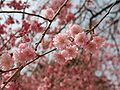 Prunus serrulata 2005 spring 026.jpg