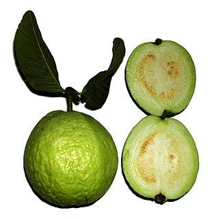 <i>Psidium guajava</i> species of plant