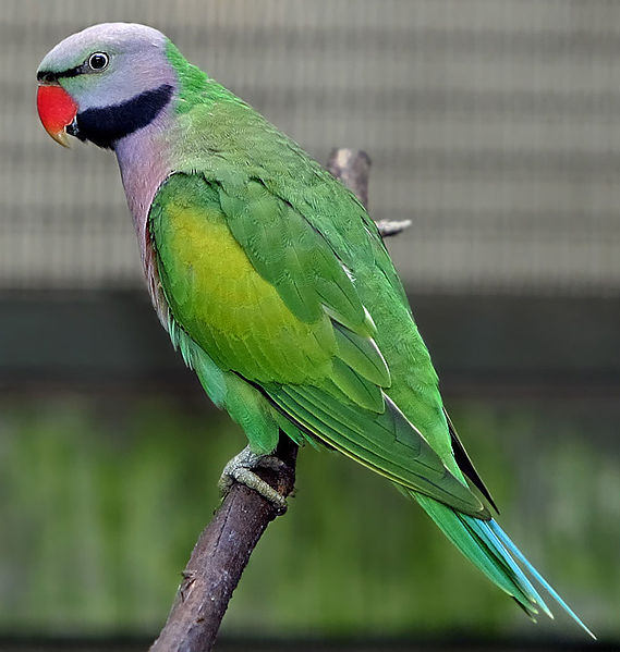 parrot conservation in india poaching threatens most native species