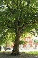 Pterocarya fraxinifolia JPG3c.jpg