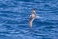 Pterodroma cervicalis 2 - SE Tasmania.jpg