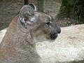 Puma beauval 05.JPG