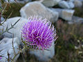 Purple-wildflower-rocks - West Virginia - ForestWander.jpg