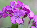 Purple flowers (13758969763).jpg