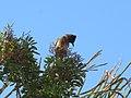 Pycnonotus tricolor (44716099641).jpg