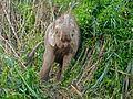 Pygmy Elephant (Elephas maximus borneensis) (8074133275).jpg