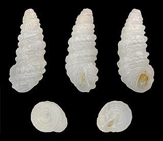 <i>Pyramidelloides mirandus</i> species of mollusc