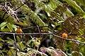 Pyrrhomyias cinnamomeus -Peru -two-8.jpg