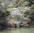 Pyrus calleryana in pond.JPG