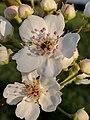 Pyrus pyrifolia (Raja) blossom5.jpg