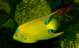 Queen Angelfish, Holacanthus ciliaris.jpg