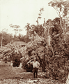 Queensland State Archives 2399 Sugar bananas young orange trees and bearded man at Smiths plantation Blackall Range c 1899.png