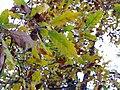 Quercus canariensis 2009December27 Leaves SierraMadrona.jpg
