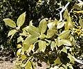 Quercus chrysolepis 2.jpg