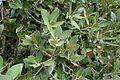 Quercus chrysolepis kz1.jpg