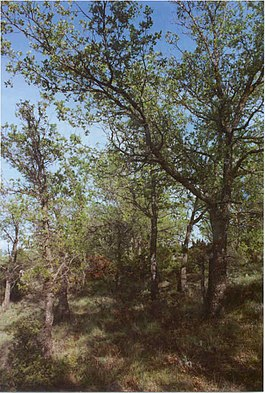 Quercus faginea.jpg
