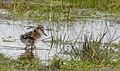 Rödbena Common Redshank (20342757272).jpg