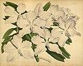 R. Warner & B.S. Williams - The Orchid Album - volume 06 - plate 282 (1887).jpg