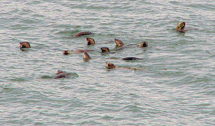 Raft of L. c. pacifica surfacing to eat fish Raft of River Otters.jpg